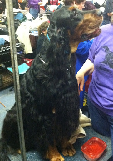 Gordon Setter