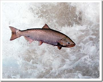 salmon-population-1