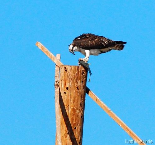 6. Osprey at Gilbert Water ranch-kab