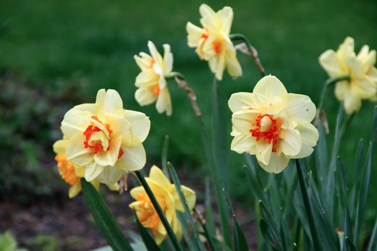 Daffs5