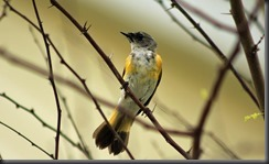 Female American Redstart SPI