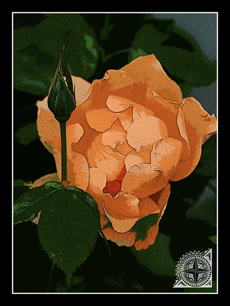 Vintage peach rose