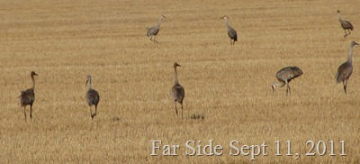 Sandhill Cranes closer Sept 11