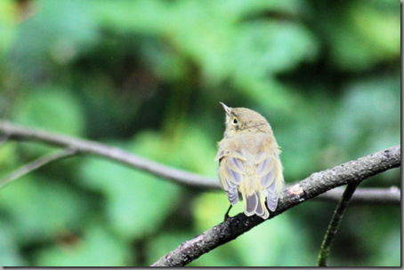 Juvenile Willow Warbler (low res png)