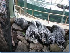 0247 Alberta Calgary - Calgary Zoo Destination Africa - African Savannah - African Crested Porcupine