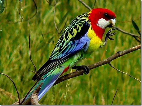 cele mai colorate pasari