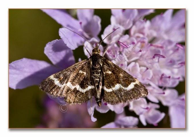 Day Moth 8  Wavy-barred Sable