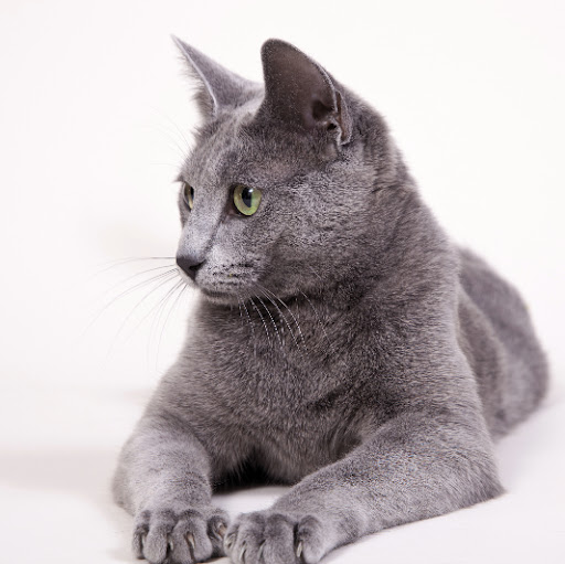 Russian Blue Cat by Caritates Cattery - Beata de Caritates