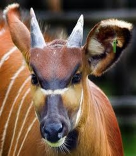 Amazing Pictures of Animals, photo, Nature, exotic, funny, incredibel, Zoo, Western or Lowland bongo, Tragelaphus eurycerus eurycerus, Mammals, Alex (9)
