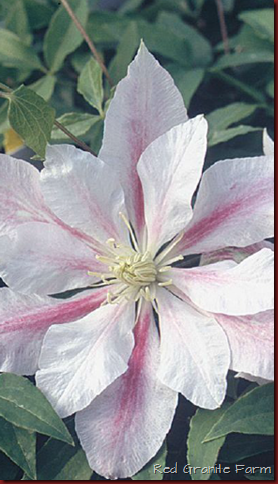 Andromeda Clematis