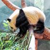 Pandas - Zoo Atlanta