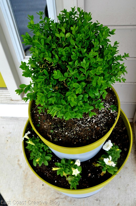 Boxwood Plants