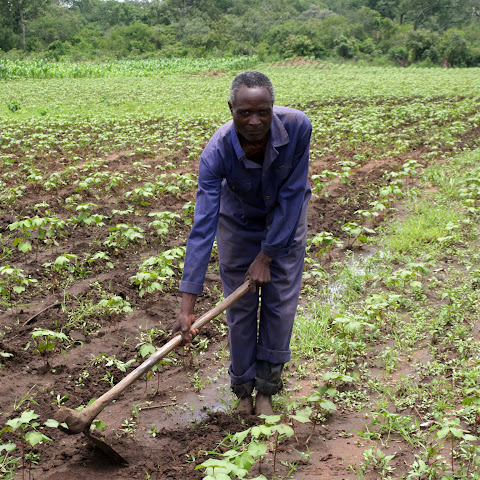 About 80% of Zambians grow their own food on small plots of land like this one.