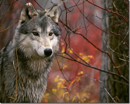 Wolf_picture