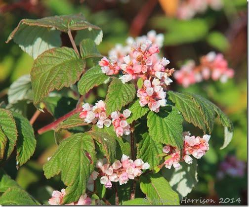 7-pink-shrub