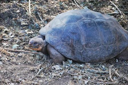 Imagini Galapagos: testoasa gigant