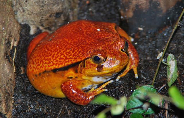 orange padda