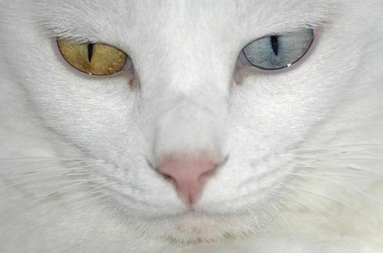 hetegrochromia in cats 01