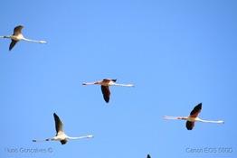 [53]_Flamingos_(phoenicopterus_roseus)