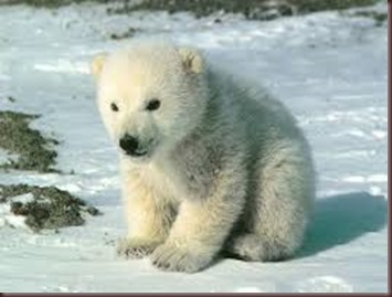 Amazing Animals Pictures Polic Bear (4)