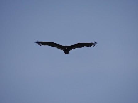 30. Vultur Costa Rica.JPG