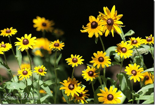 Woodland_Blackeyed_Susans