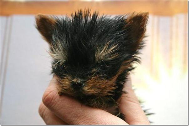Terrier Meysi (2)