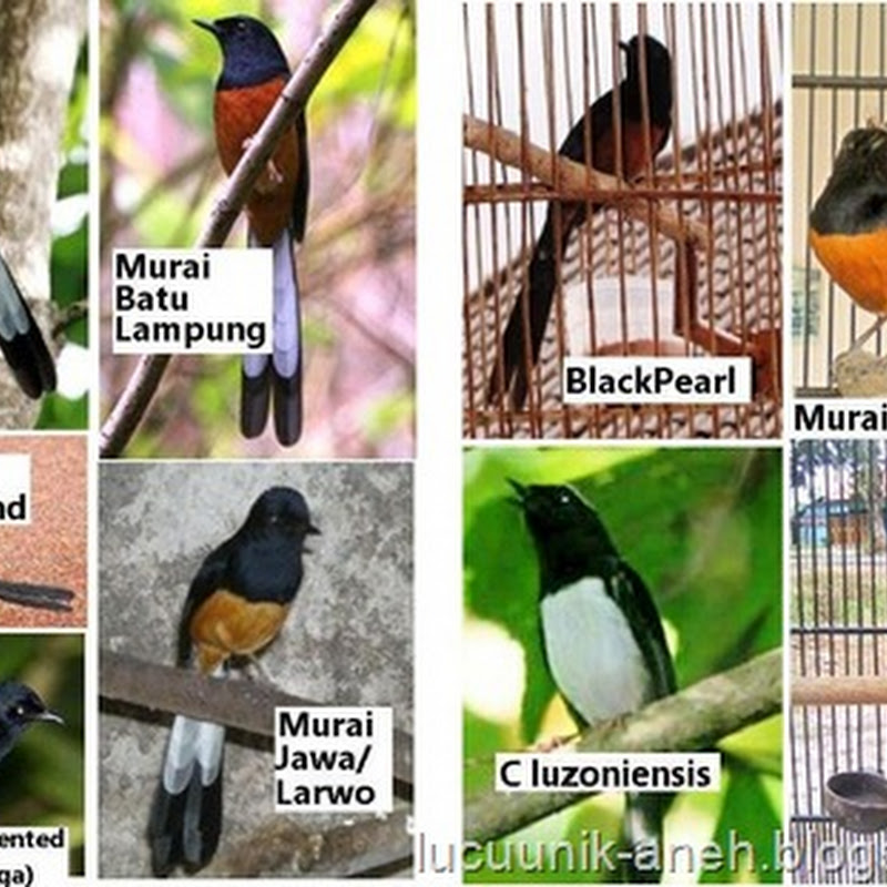 Jenis-jenis Burung Murai Batu, foto Burung Murai Batu