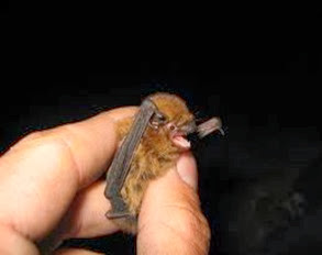 Amazing Pictures of Animals, Photo, Nature, Incredibel, Funny, Zoo, Common pipistrelle, Mammals, Alex (13)