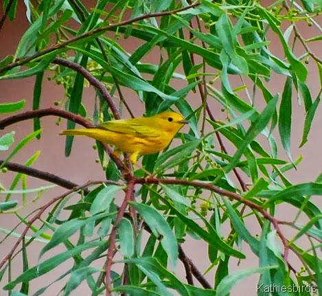 2. yellow warbler-kab
