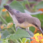 Purple sunbird (female)