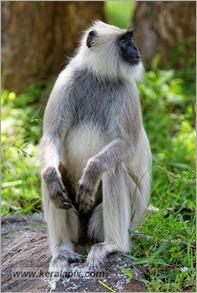 _P6A2125_grey_langur_monkey_mudumalai_bandipur_sanctuary