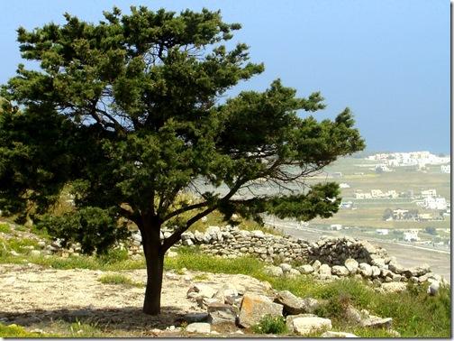 Árvore nas Ruínas de Thira Antiga Santorini