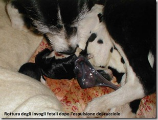 dogs-puppies-Welsh-border-Collie-cross-with-mother-including-birth-15-AL