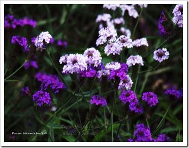 Lilaakvarell