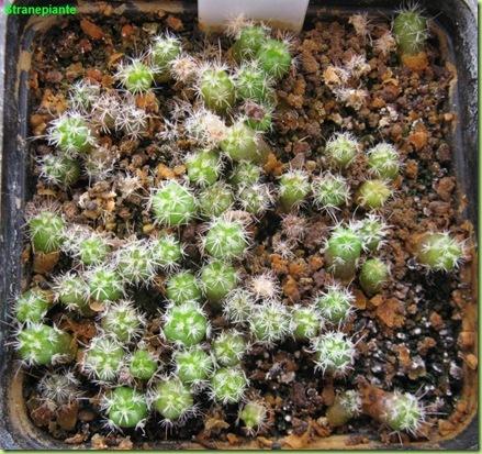 Stenocactus multicostatus-2011-05-13_00021IMG_8733