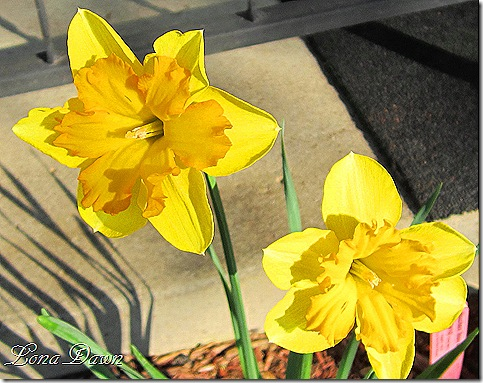 Daffodils_Centannees