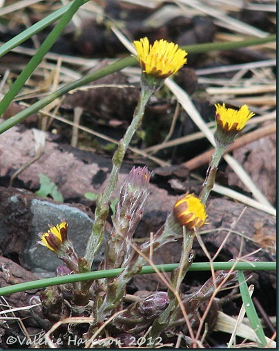 19-coltsfoot
