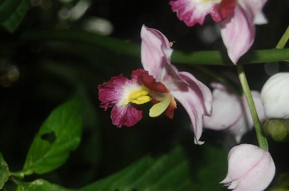 Orchidée. La Montagne d'Ambre (500 m), au sud d'Antsiranana, 31 janvier 2011. Photo : T. Laugier