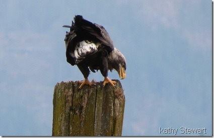 Eagle on a piling