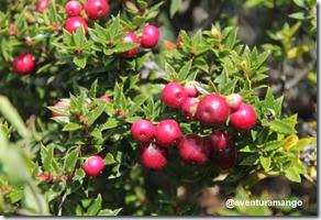 Chaura (Gaultheria mucronata)