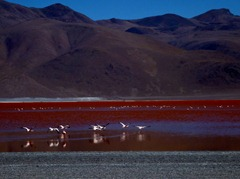 Flamingoes in flight on Laguna Colorada, Southwestern Bolivia.