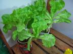 16-17 week summercrisp lettuce splashers - final two (replanting)
