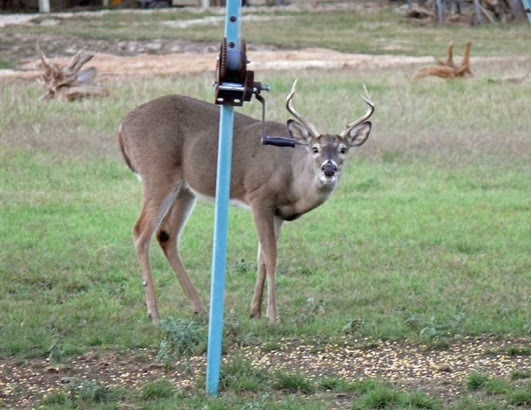 Surprised Buck