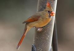 Female Cardinal Kleb Woods