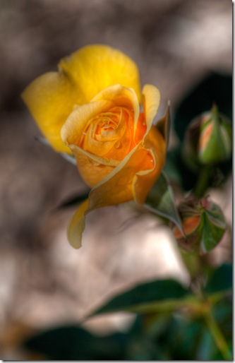 HDR rose