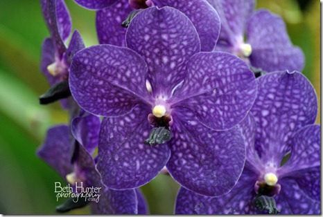 cr-ppl-orchid