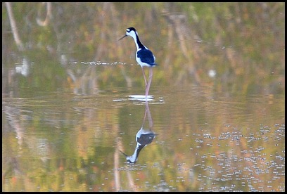 08d - Eco Pond - Black Necked Stilt