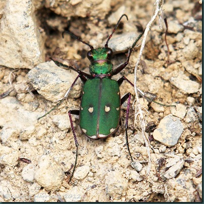 1 green-tiger-beetle