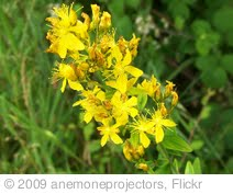 'Perforate St John's-wort (Hypericum perforatum)' photo (c) 2009, anemoneprojectors - license: http://creativecommons.org/licenses/by-sa/2.0/